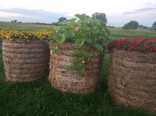"""Derlius dera ne tik šiltnamyje, bet ir """"šiaudų vazose"""""""