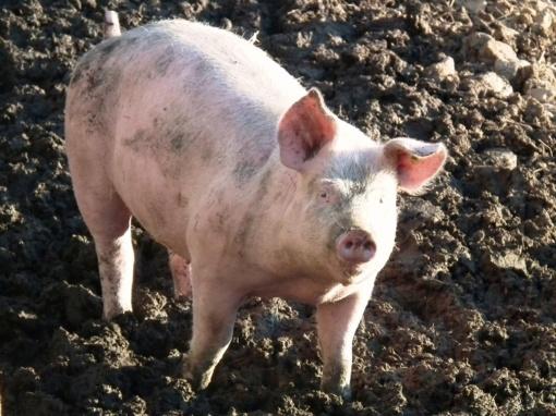 Dėl afrikinio kiaulių maro Akmenėje paskelbtas antras ekstremalus įvykis