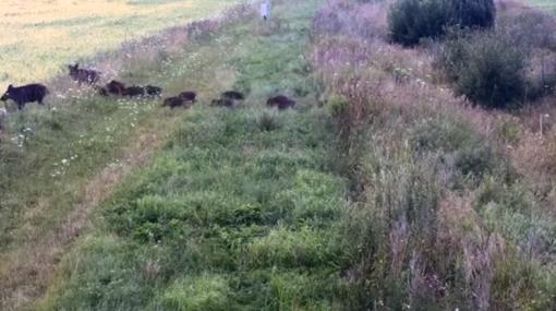 Iš Baltarusijos į Švenčionių rajoną perbėgo didžiulė banda šernų su šerniukais (vaizdo medžiaga)