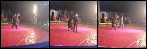 Po kritikos dėl alinamos meškos sulaukusiam cirkui Klaipėdoje – specialistų patikrinimai (vaizdo įrašas)