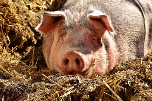 Afrikinis kiaulių maras nerimsta – jo židinys nustatytas Birštono savivaldybės teritorijoje