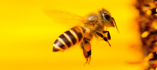 Trumpa bitininkystės istorija:  nuo pintų avilių iki bičių-dronų