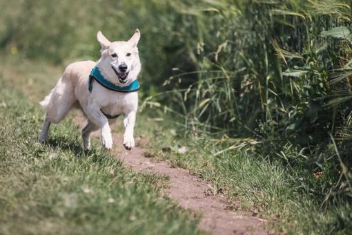 Šuo, įveikęs Australijos pusmaratonį, laimėjo medalį