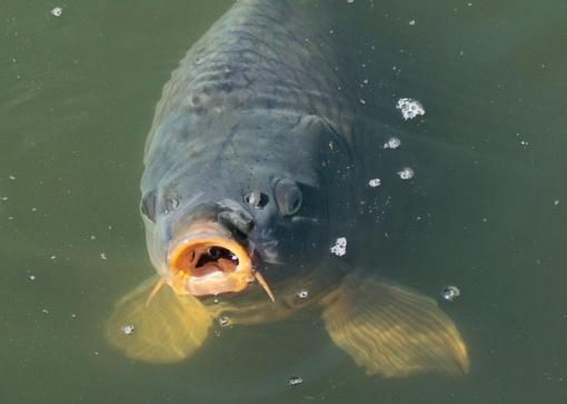 Įšilęs vanduo pradeda sekinti žuvų išteklius upėse ir tvenkiniuose