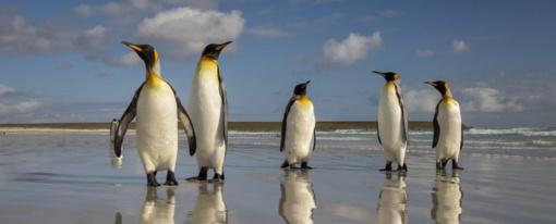 Drastiškai mažėja karališkųjų pingvinų