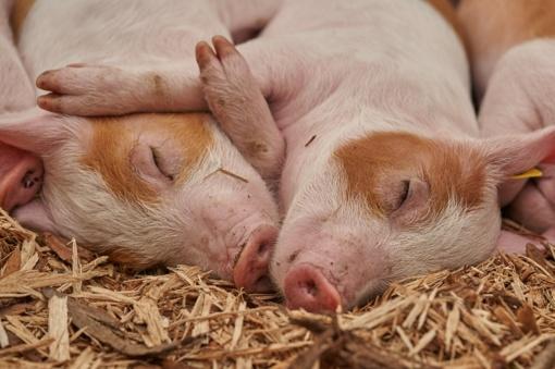 Afrikinis kiaulių maras toliau plinta kiaulių laikymo vietose