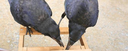 Šiukšles ir nuorūkas renka išdresuoti paukščiai