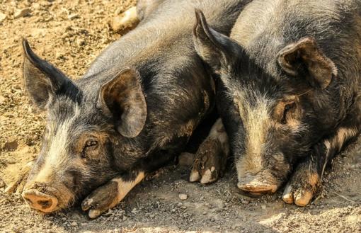 Kompensuos nuostolius, patirtus dėl afrikinio kiaulių maro