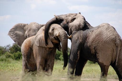 Botsvanoje dėl dramblio kaulo nugalabyta beveik 100 dramblių