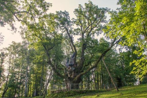 Stelmužės ąžuolas – verta aplankyti
