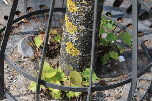 Rūpinamasi sausrą kentusiais medžiais