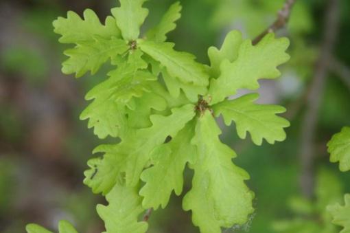 Šimtmečio giraitėje pasodinti vertingiausių ąžuolų palikuonys – sėkmingai prigijo