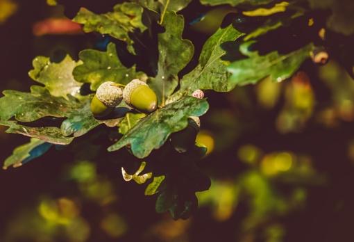 Stelmužės ąžuolo palikuonys – dviem Radviliškio rajono bendruomenėms