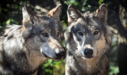 Klaipėdos rajone skaičiuojama vilkų ūkiniams gyvūnams padaryta žala
