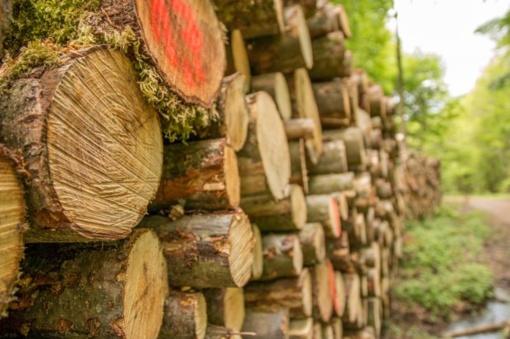 Brangstanti mediena paskatino privačių miškų kirtimą