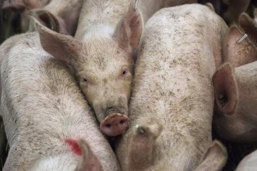 Susitarta dėl lietuviškos kiaulienos eksporto į Ukrainą