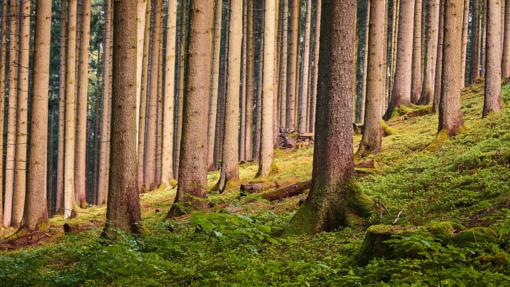 Pro medžius miško nemato