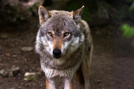 Ministerija siūlo padvigubinti vilkų medžioklės limitą