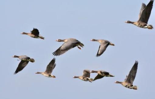 Rudeninės paukščių migracijos metu saugokimės paukščių gripo