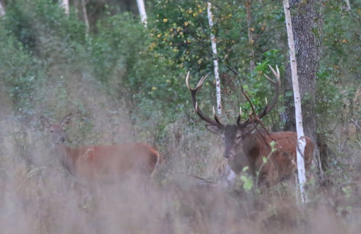 Išvykos į miškus: tauriuosius elnius pavyko ir išgirsti, ir pamatyti