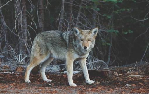 Aplinkos ministras patvirtino vilkų medžioklės kvotą