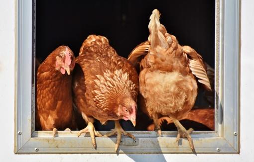 Bulgarijoje dėl paukščių gripo sunaikinta 146 tūkst. ančių ir vištų