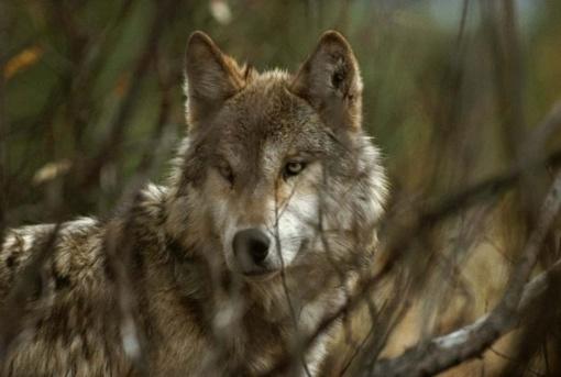 Ūkininkai gali kreiptis dėl kompensacijos už vilkų padarytą žalą