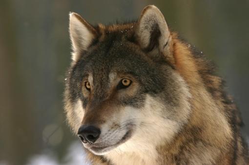 Seimas imasi spręsti nuo vilkų nukentėjusių ūkininkų problemas