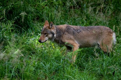 K. Navickas: nežinome, kiek vilkų iš tiesų gyvena Lietuvoje