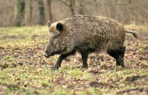 Lietuvoje AKM nustatytas 51 kiaulių laikymo vietoje