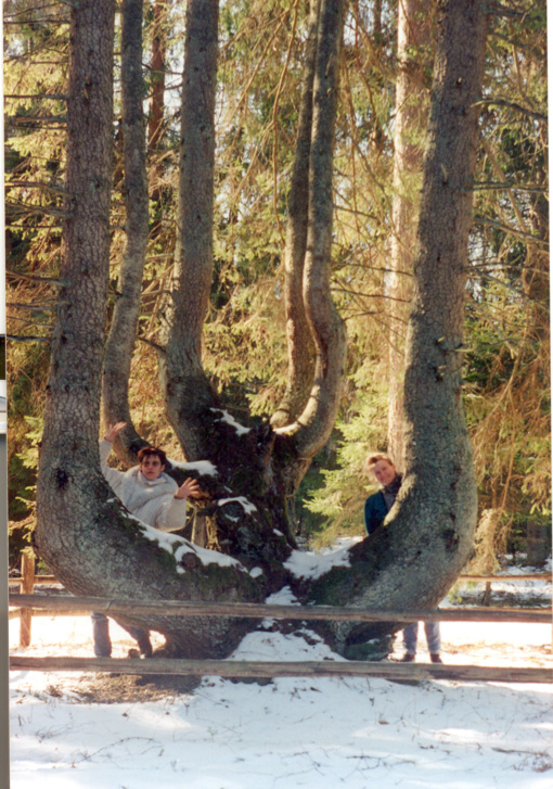 Bubių šešiakamienė eglė – sunykęs gamtos paveldo objektas