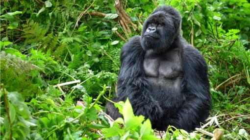 Kalnų gorilos– nebe ties pavojinga išnykimo riba