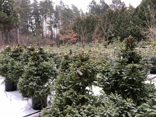 Miškininkai: tegul eglutės miške auga stipriais medžiais
