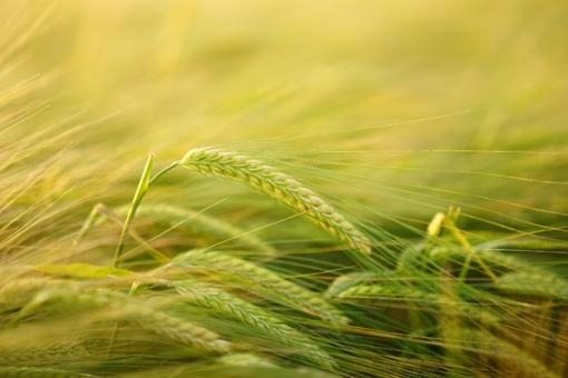 Pakoreguotos pasėlių ir augalų draudimo įmokų kompensavimo taisyklės