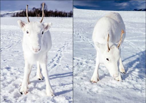 Lyg iš pasakos: Norvegijoje užfiksuotas ypač retas, baltos spalvos elniukas