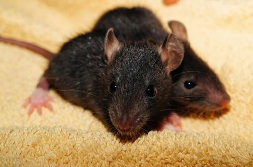 Kas bendra tarp blakių, pelių ir Jūsų lovos?