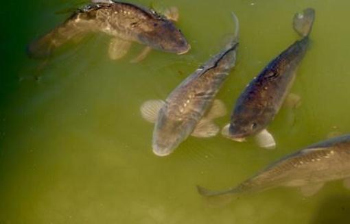 Patarimai besirenkantiems žuvų produktus šventėms