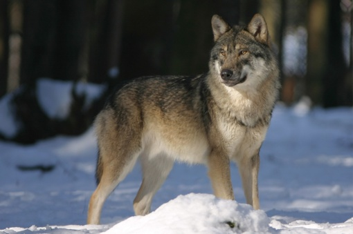 Aplinkos ministerija siūlo didinti vilkų sumedžiojimo limitą tam tikrose savivaldybėse