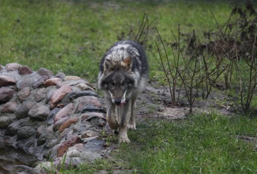 Nutraukiamas vilkų medžioklės sezonas