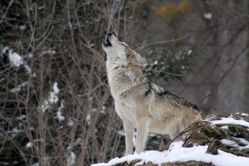 Paskirstyta likusi leistų sumedžioti vilkų limito dalis