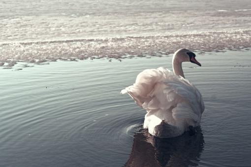 Skaičiuojami žiemojantys vandens paukščiai