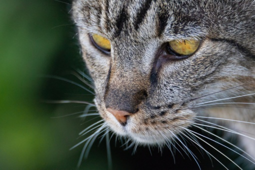 Maginės kačių savybės pagal jų spalvą: ką neįtikėtino savyje turi jūsų katė?