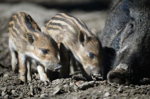 Per savaitę afrikinis kiaulių maras nustatytas 19 šernų