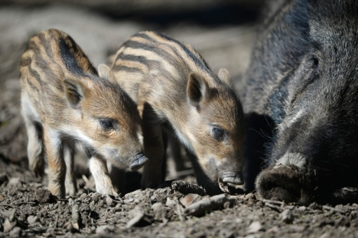 Dėl kiaulių maro pastebimas šernų sumažėjimas