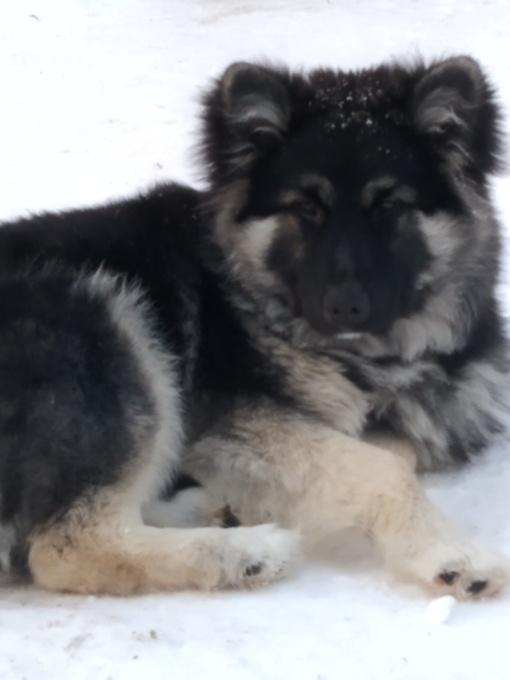 Prašome pagalbos – dingo šuo