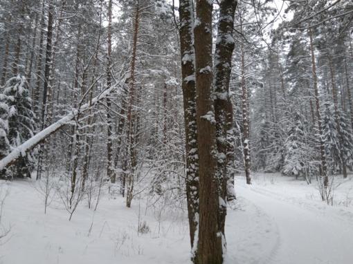 Prie Laimės žiburio bus šalinami virstantys medžiai
