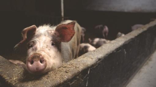 Per metus kiaulių supirkimo kainos krito 12 proc.
