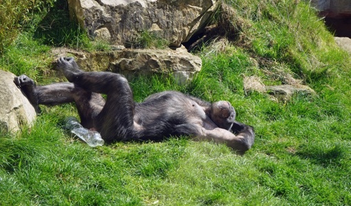 Pabėgimo meistrės: gudrios šimpanzės pabėgo iš zoologijos sodo (vaizdo įrašas)