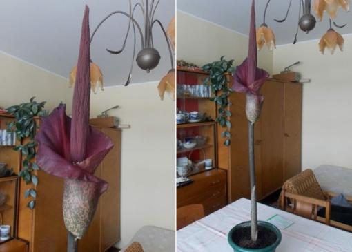 Aitrų kvapą nustelbia violetinis grožis