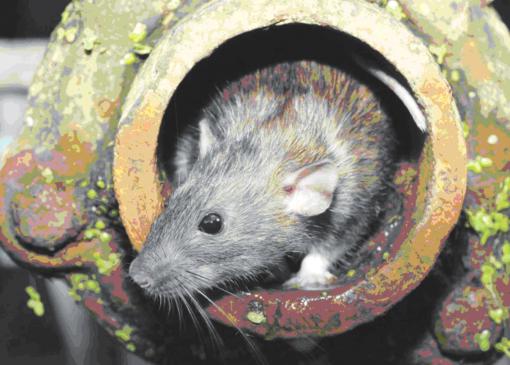 Žiurkės puola!